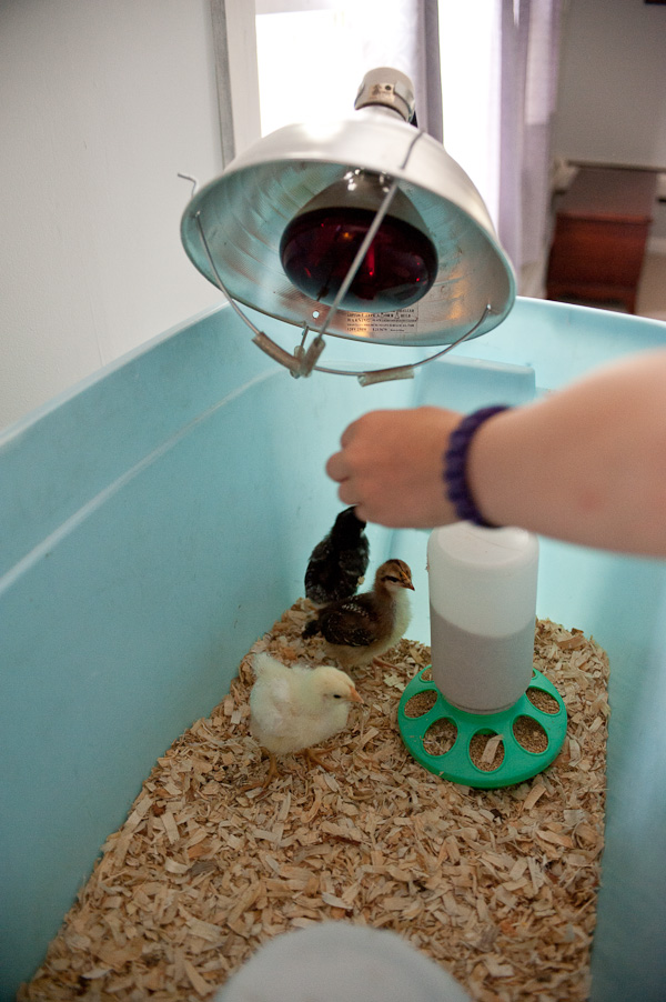 baby chickens-4