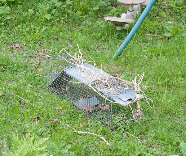 groundhog trap-1
